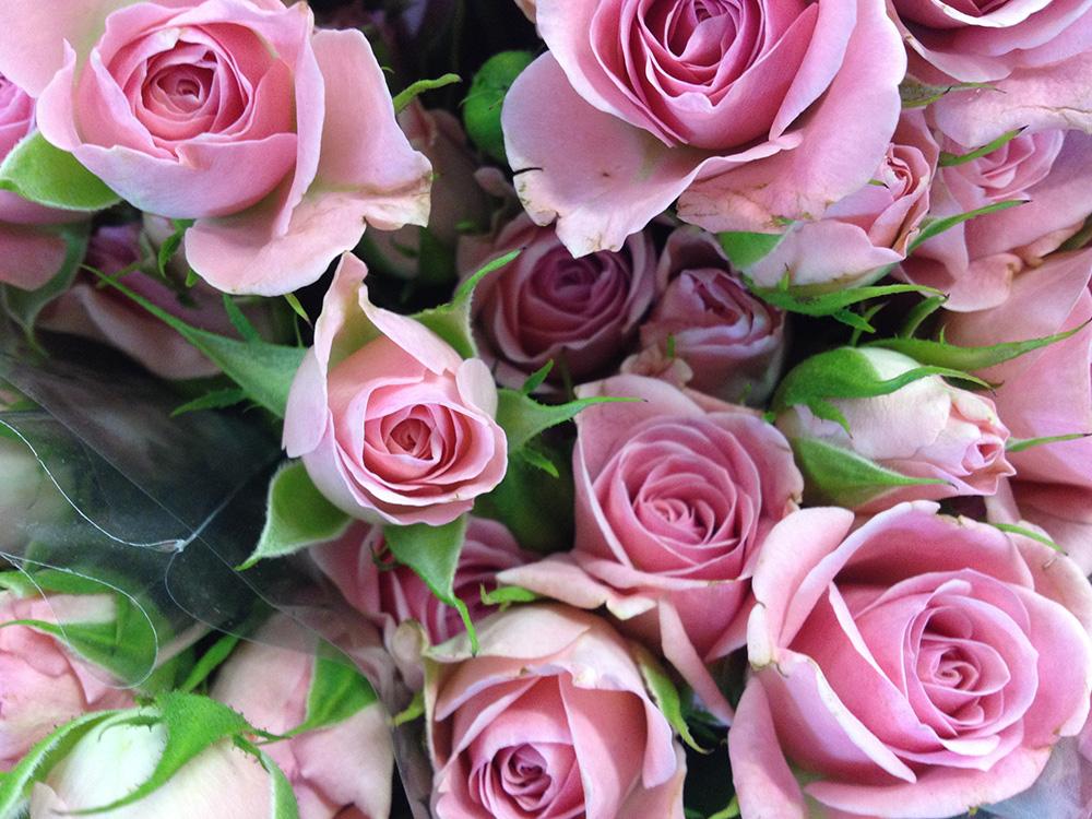 Delicate Pink Summer Rose