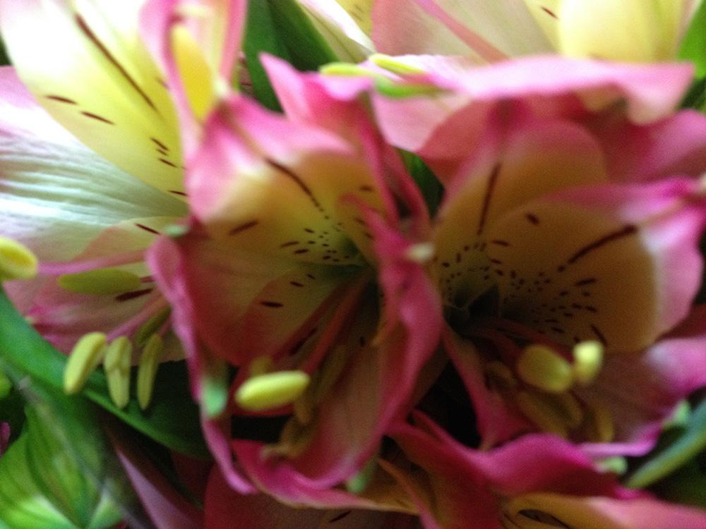 Pink Summer Alstromeria